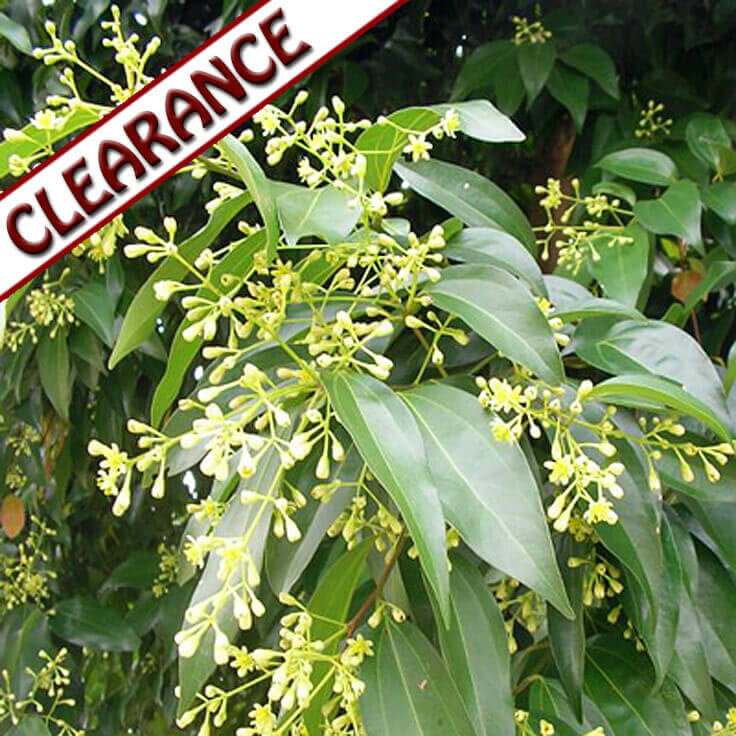 Cassia Essential Oil CLEARANCE