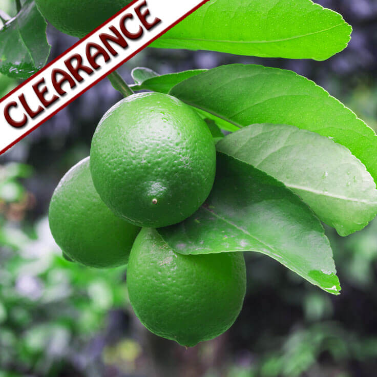 Lime Essential Oil CLEARANCE