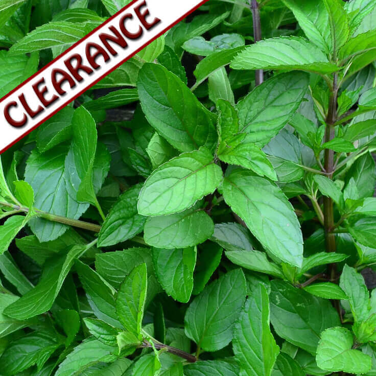 Scotchmint Essential Oil CLEARANCE