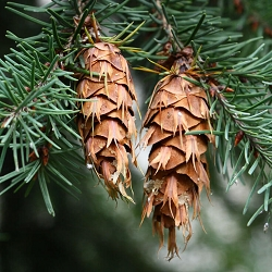 Douglas Fir Essential Oil Canada
