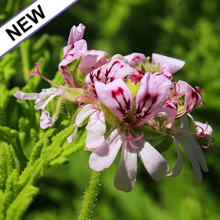 Geranium Absolute Hexane Free