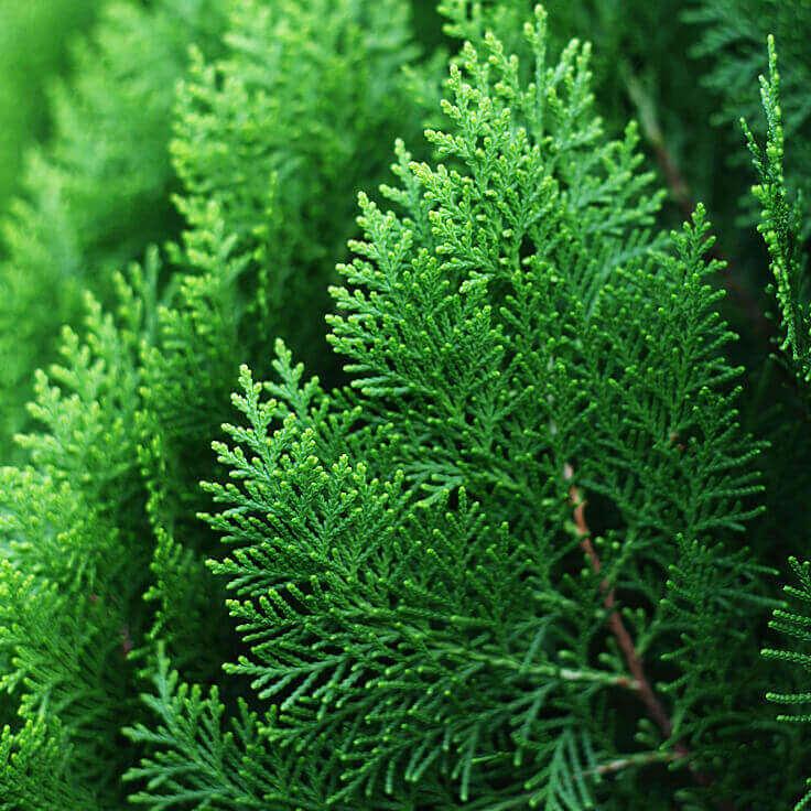 Hinoki Wood Essential Oil