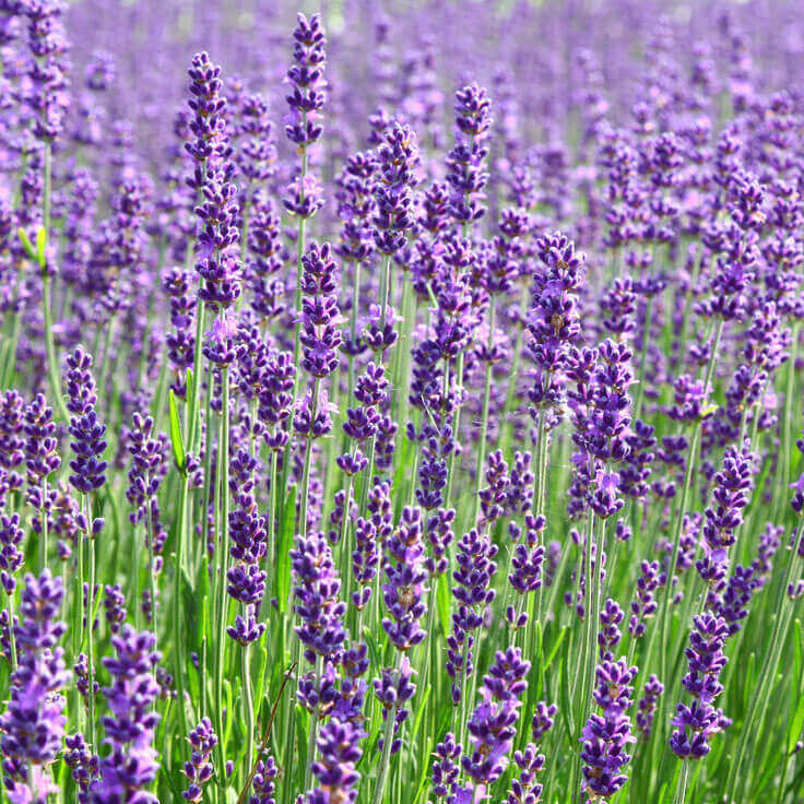 Lavender Spike Essential Oil, 1 mL Sample
