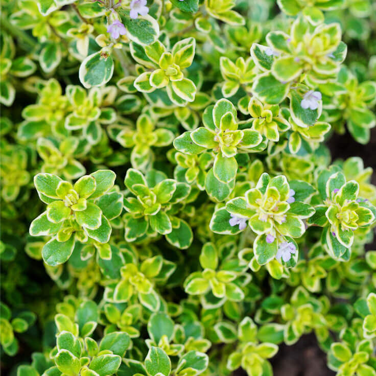 Image result for Lemon Thyme