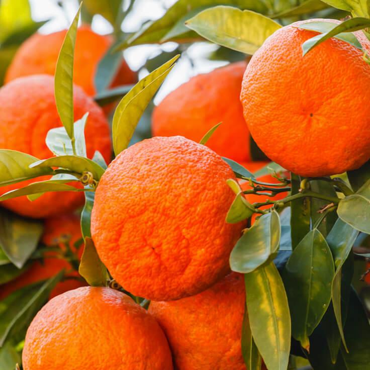 Image result for red mandarin