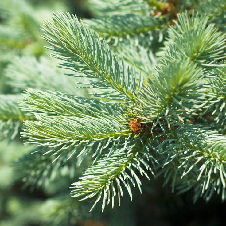 Silver Fir Organic Essential Oil