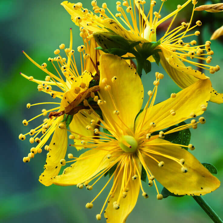 Image result for St. John's Wort