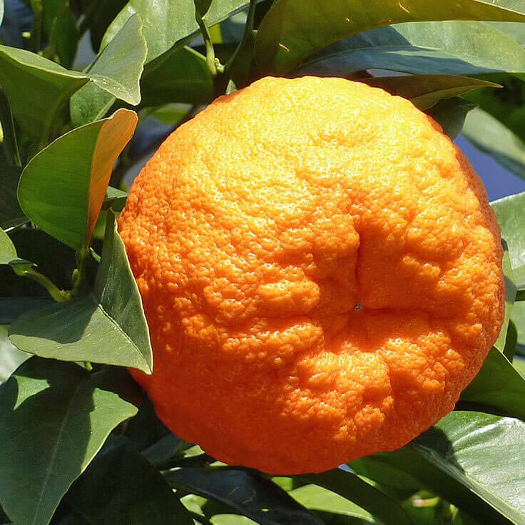 Atemberaubend Orange Bitter Essential Oil @NT_14