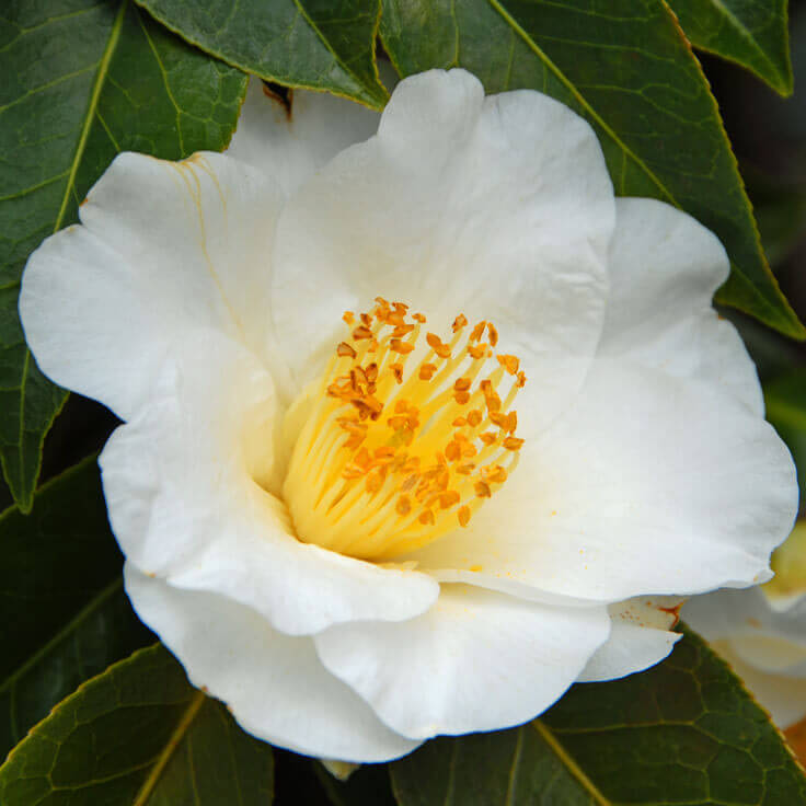 White camellia seed oil quick view mightylinksfo