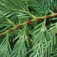 Cypress Essential Oil (France)