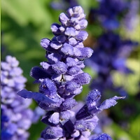 Lavender Bulgarian (Wild) Essential Oil