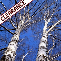 Birch Sweet Essential Oil CLEARANCE