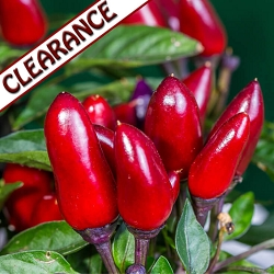 Chili Pepper (Capsicum) Co2 Extract CLEARANCE