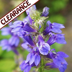 Hyssop decumbens Essential Oil  CLEARANCE