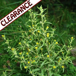Inula Essential Oil CLEARANCE