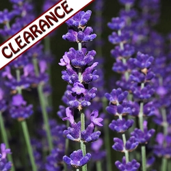 Lavender High Altitude Essential Oil (France) CLEARANCE