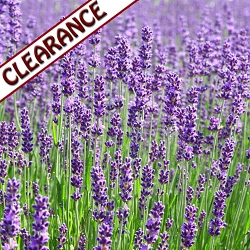 Lavender Spike Essential Oil CLEARANCE