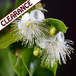 Lemon Myrtle Essential Oil CLEARANCE