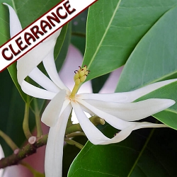 Magnolia Blossom Essential Oil CLEARANCE