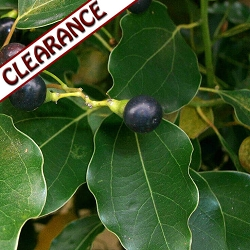 Ravintsara (Ho Leaf) Essential Oil CLEARANCE