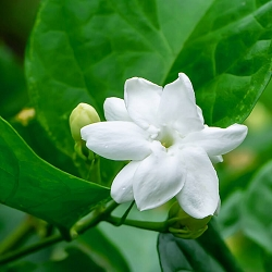 Jasmine grandiflorum CO2 Extract
