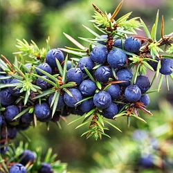 Juniper Berry Co2 Extract Organic