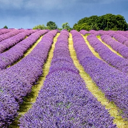 Lavender English Essential Oil (Great Britain)