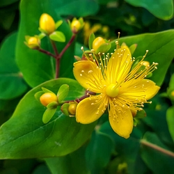 St. John's Wort Essential Oil