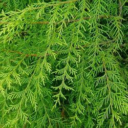 Weeping Cypress Wood Essential Oil