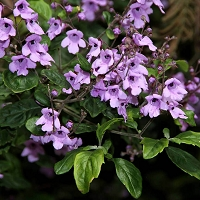 Balm Mint Bush Essential Oil (Australian)