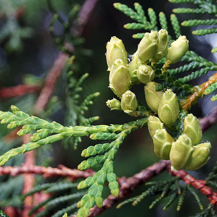 Cedar Leaf, Western Red Thuja Essential Oil
