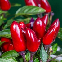 Chili Pepper (Capsicum) Co2 Extract