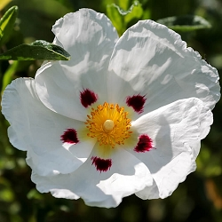 Cistus (Rock Rose) Essential Oil