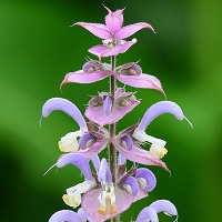 Clary Sage Essential Oil, High Sclareol (USA)