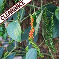 Black Pepper Organic Essential Oil CLEARANCE
