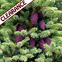 Black Spruce Hydrosol, Organic CLEARANCE (4 and 8 oz)