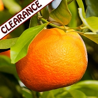 Orange Wild Essential Oil CLEARANCE