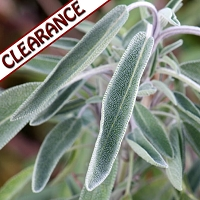 Sage Dalmatian Essential Oil CLEARANCE