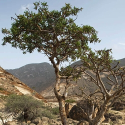 Frankincense Sacra Essential Oil (Oman)