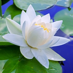 Lotus White Absolute