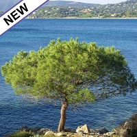 Maritime Pine Essential Oil
