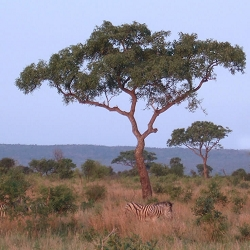 Marula Oil, Virgin
