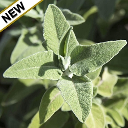 Sage Triloba (Greek Sage) Essential Oil