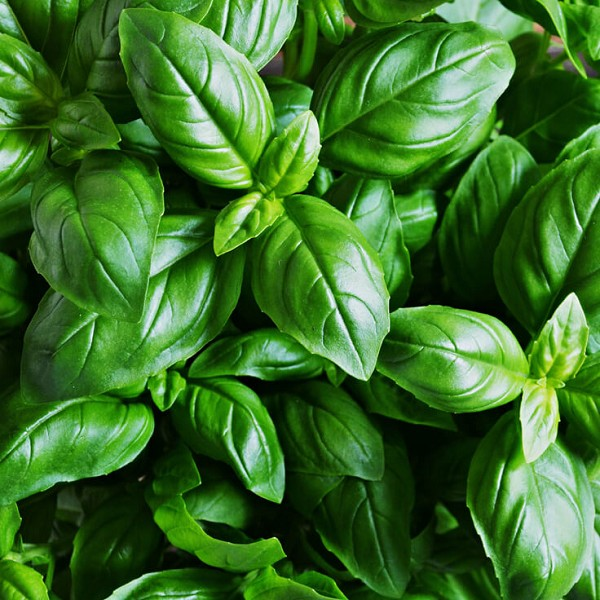 Basil Sweet ct. Linalool Essential Oil