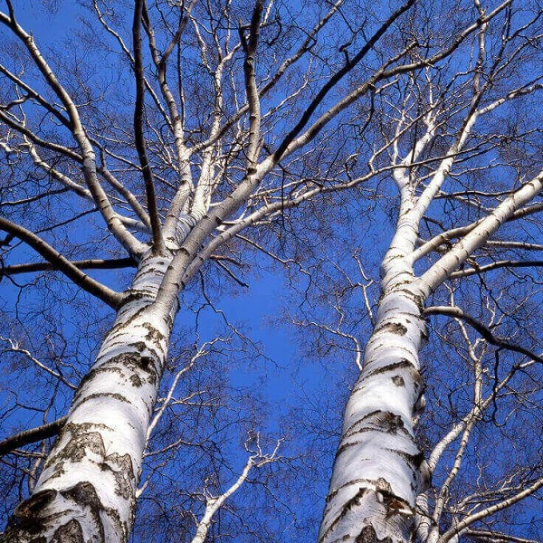 Birch Sweet Essential Oil