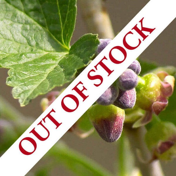 Blackcurrant Bud Absolute Hexane Free