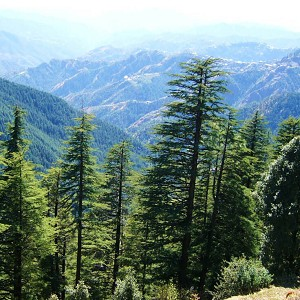 Cedarwood Himalayan (India) Essential Oil