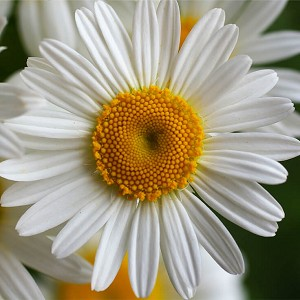 Chamomile Roman Essential Oil (France)