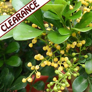 Aglaia Flower Absolute CLEARANCE