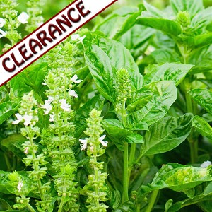 Basil Lemon Essential Oil CLEARANCE